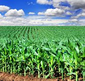 stock photo of maize  - Beautiful green maize field - JPG