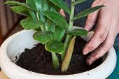 Planting Home Plants Indoors. Hands Of Woman Planting In The Flower Pot. Woman Potting Some Plants I poster