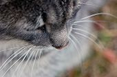 The Face Of The Cat. Closeup Portrait Of A Cat. Pensive Look Of An Old Cat. poster