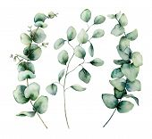 Watercolor Silver Dollar Eucalyptus Set. Hand Painted Baby, Seeded And Silver Dollar Eucalyptus Bran poster