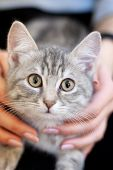 Sleepy Kitten In A Girls Knees. Home Kitten With A Cute Attractive Face. Carefree Pet Life poster