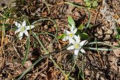 White Spring Bloom Of Ornithogalum Umbellatum (star Of Bethlehem, Grass Lily, Nap At Noon, Eleven O  poster