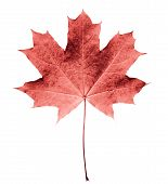 Pink Or Colar Maple Leaf Isolated White Background. Beautiful Autumn Maple Leaf Isolated On White. F poster