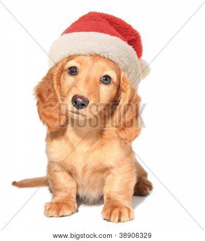 Miniature dachshund puppy wearing a Santa hat.