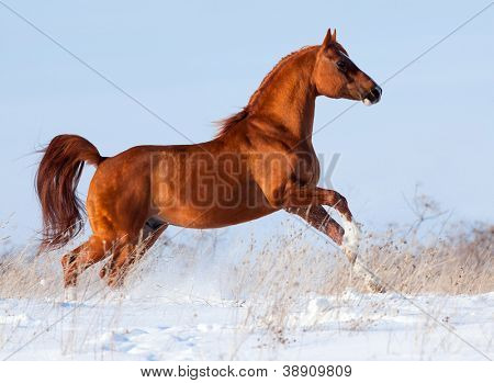 Arabian chestnut horse running in winter
