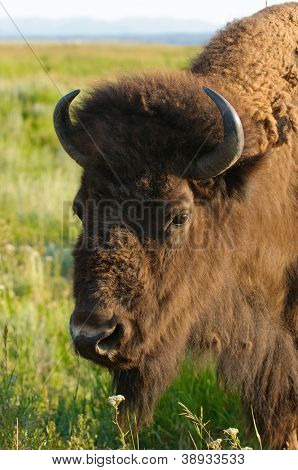 Closeup of a North American Buffalo