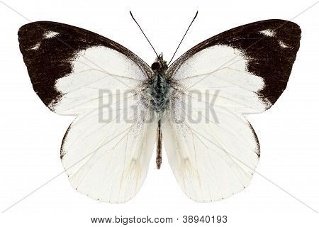White Butterfly Species Apias Indra Indra