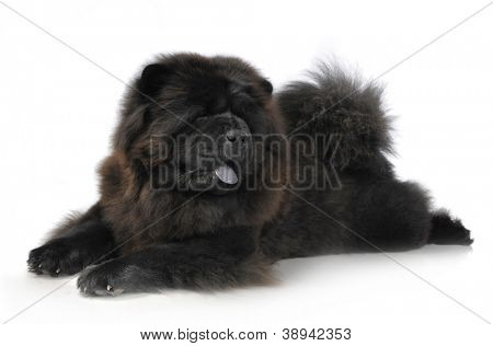 Black Chow-Chow in studio on white background