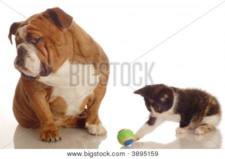 English Bulldog Bored With Kitten