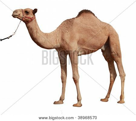 Camel Against White