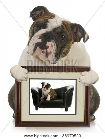 young puppy grown dog - english bulldog holding picture of itself when it was a puppy