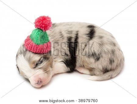 Australian Shepherd puppy, 21 days old, lying and wearing a winter hat against white background