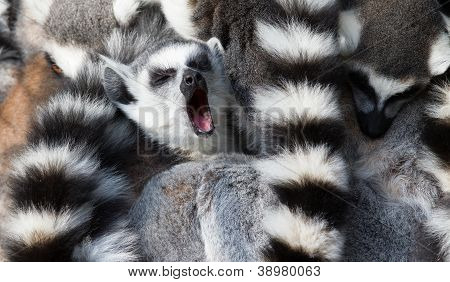 Ring-tailed Lemurs (lemur Catta) Huddle Together