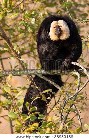 White-faced Saki (pithecia Pithecia) Or Also Known As Golden-face Saki Monkey