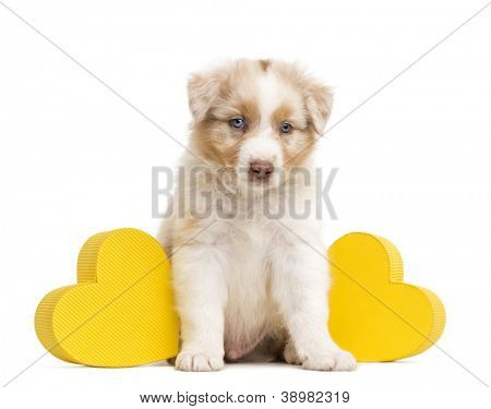 Sad Australian Shepherd puppy sitting between two yellow hearts against white background