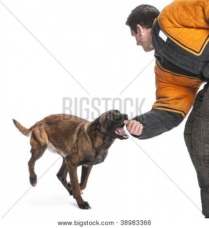 Belgian Shepherd running to attack the arm of a trainer wearing a body bite suit against white background
