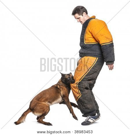 Belgian Shepherd attacking the leg of a trainer wearing a body bite suit against white background