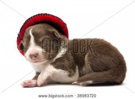 Australian Shepherd puppy, 12 days old, wearing a hat against white background