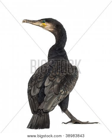 Rear view of a Great Cormorant, Phalacrocorax carbo, also known as the Great Black Cormorant against white background