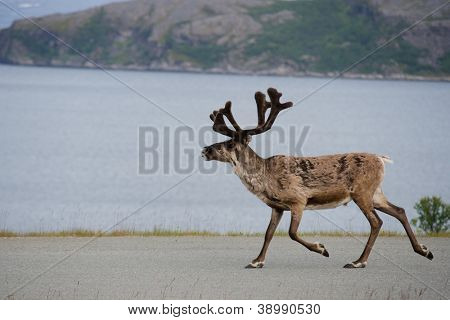 Walking reeindeer against natural landscape, Norway
