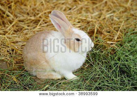 rabbit in farm