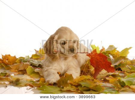 Cocker Spaniel Puppy In Autumn Leaves