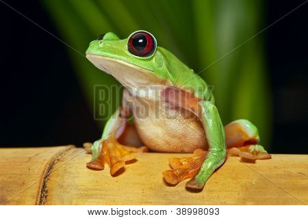 flying or gliding tree frog Agalychnis spurrelli lives in Amazon rain forest of Ecuador Colombia Panama and Costa Rica tropical nocturnal treefrog and endangered amphibian