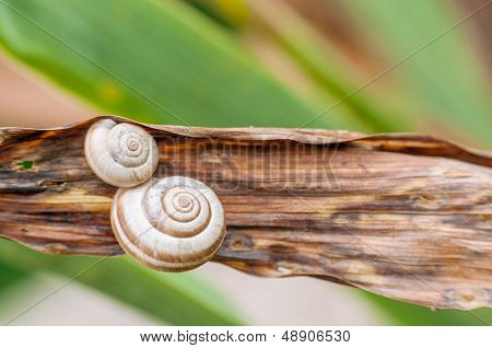 Two snail shells on plant