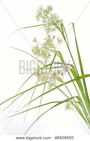 Luzula Nivea grass on white background, closeup