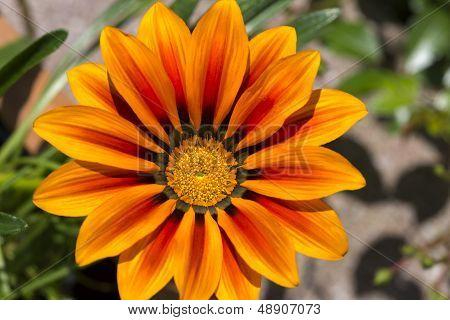 Midday flower Gazania or iceplant flower