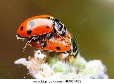Two sweet ladybugs on plant