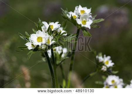 Anemone narcissiflora flowers