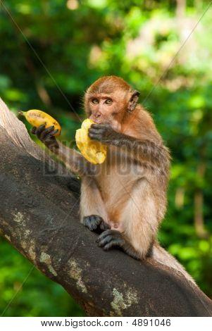 Sitting On The Tree Monkey Eating Banana
