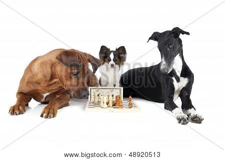 Three dogs play chess.