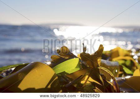 Seaweed on a beach