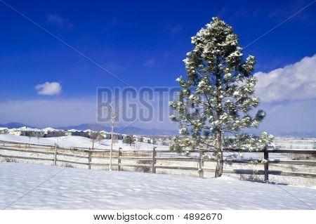 A Wintery Pine