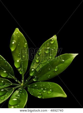 Rain Drops On Fresh Green Leaves. Isolated On Black Background