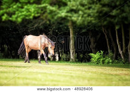 New Forest pony in a clearing, Nomansland, Hampshire, UK