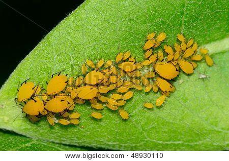 Orange Milkweed Aphids