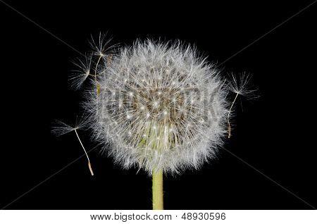 Entangled Dandelion Seeds