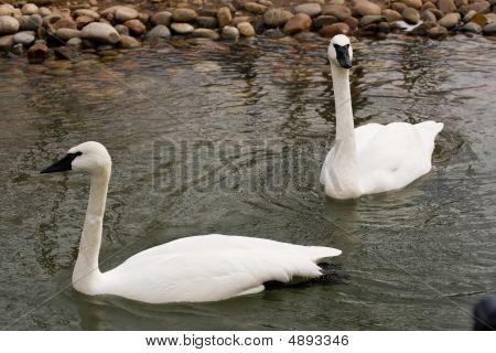 Kc Swans