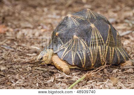 Portrait of radiated tortoise (Astrochelys radiata)