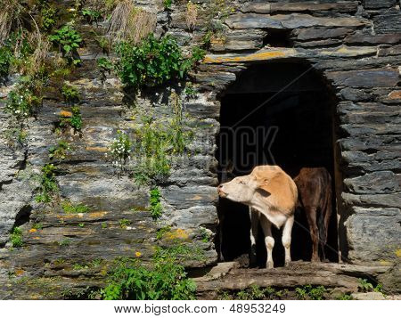 Cows are hiding from the sun in abandoned houses in Ushguli, Svaneti, Georgia.
