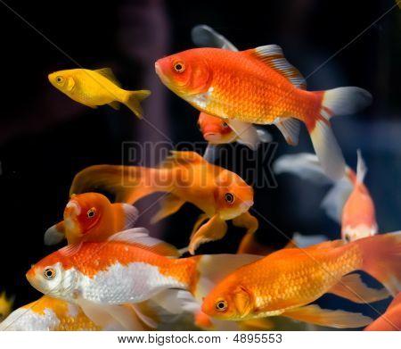 exotisch fisch