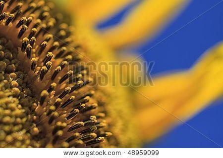 Sunflower Polen
