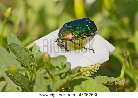 Green June Bug On A Flower