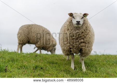 Texel sheep on dyke at Dutch wadden island