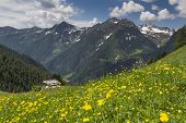 pic of italian alps  - Yellow wild flowers in the Italian alps - JPG