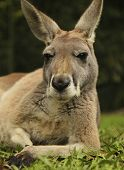 image of kangaroo  - Picture of a kangaroo relaxing at a zoo