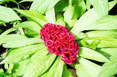 picture of cockscomb  - plumed cockscomb flower Celosia argentea L - JPG
